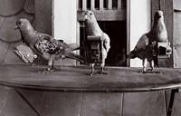 Pigeon espion allemand