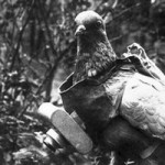 pigeon espion allemand (2)